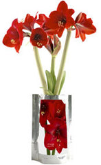 Amaryllis Flower Garden-in-a-Bag
