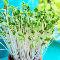Microgreens - Kale, Green