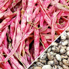 Bean (Bush) - Borlotti