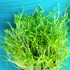 Sprouts/Microgreens - Micro Carrots