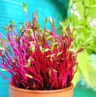 Sprouts/Microgreens - Beet, Dark Red