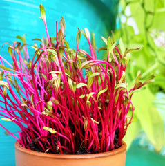 Microgreens - Beet, Dark Red