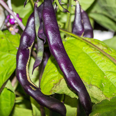 Bean (Pole) - Purple Podded