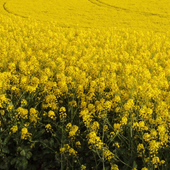 Cover Crop - Rapeseed