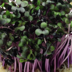 Sprouts/Microgreens - Kale, Red