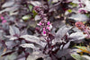 Basil - Dark Opal Purple