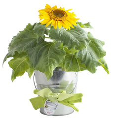 Garden-in-a-Pail (Sunflower)