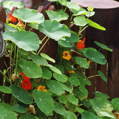 Nasturtium - Tall Trailing Mix