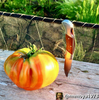 Tomato - Pineapple [INDETERMINATE]