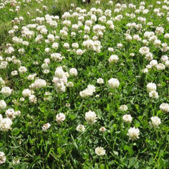Cover Crop - Clover (White Dutch)