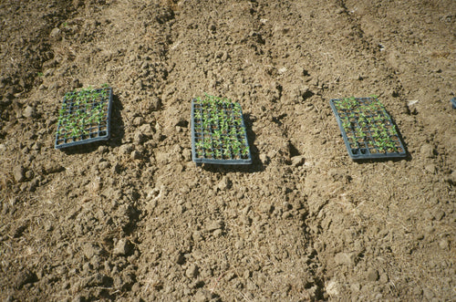 Seeding trays filled with sprouted Baklouti pepper plants ready for transplanting at Kandarian Organic Farm