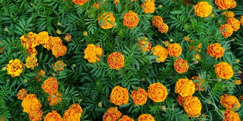 Plant Marigolds to keep bugs away