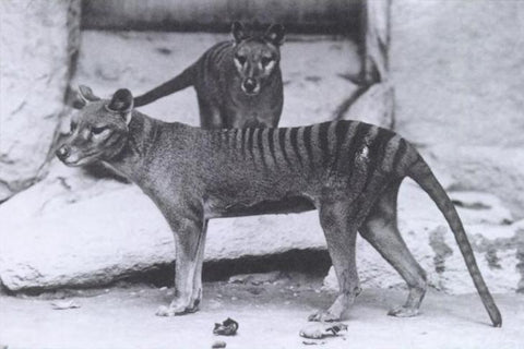 A photograph of two thylacines in the National Zoo in Washington, USA, c.1903 (courtesy Wikipedia).