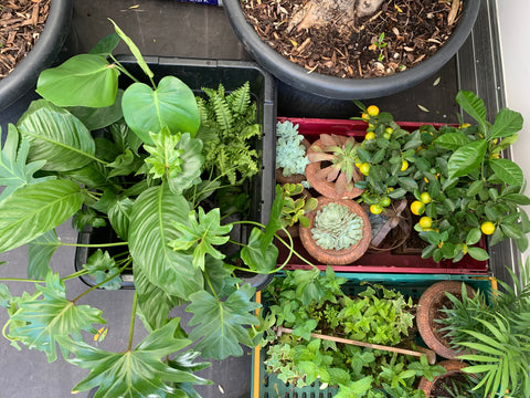 succulents and lemon trees