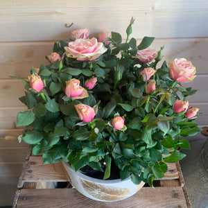 Large deluxe potted Rose