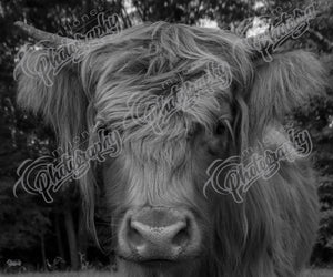 Close Up Scottish Highland