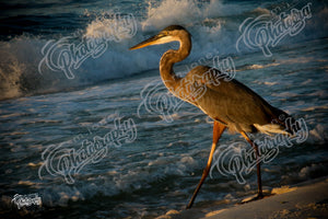 Heron at Beach