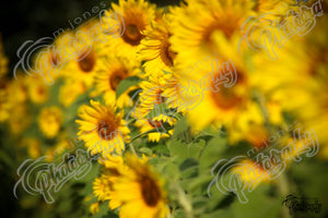 Sunflowers - 2