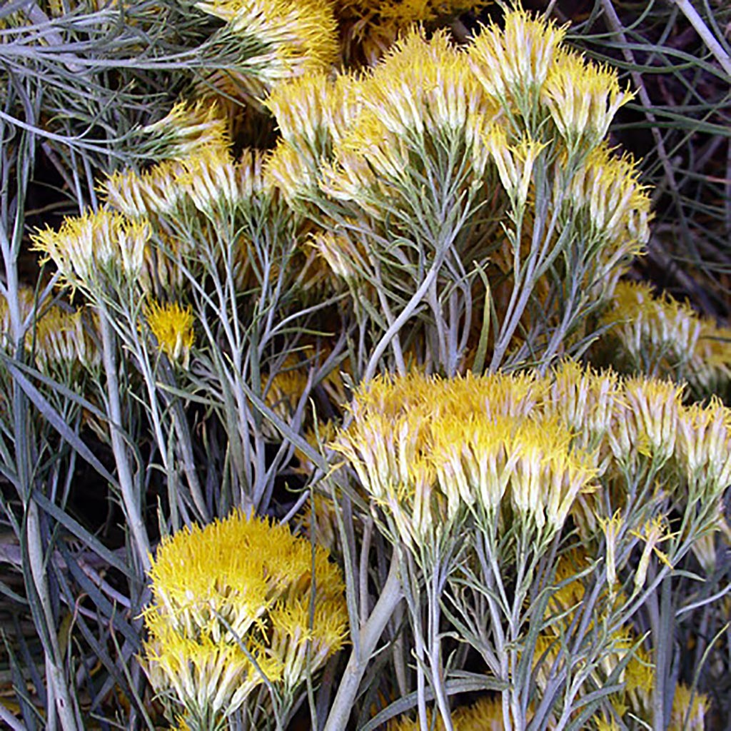 Rabbit Brush (Chrysanthanmus nauseosus)