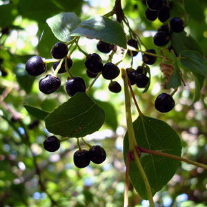 Maqui Berry Seed Oil