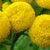 Tansy Wild Essential Essence