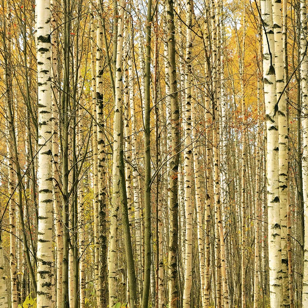Birch Yellow Essential Essence