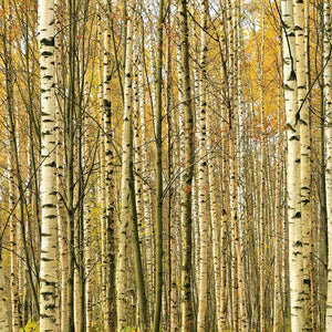 Birch Yellow