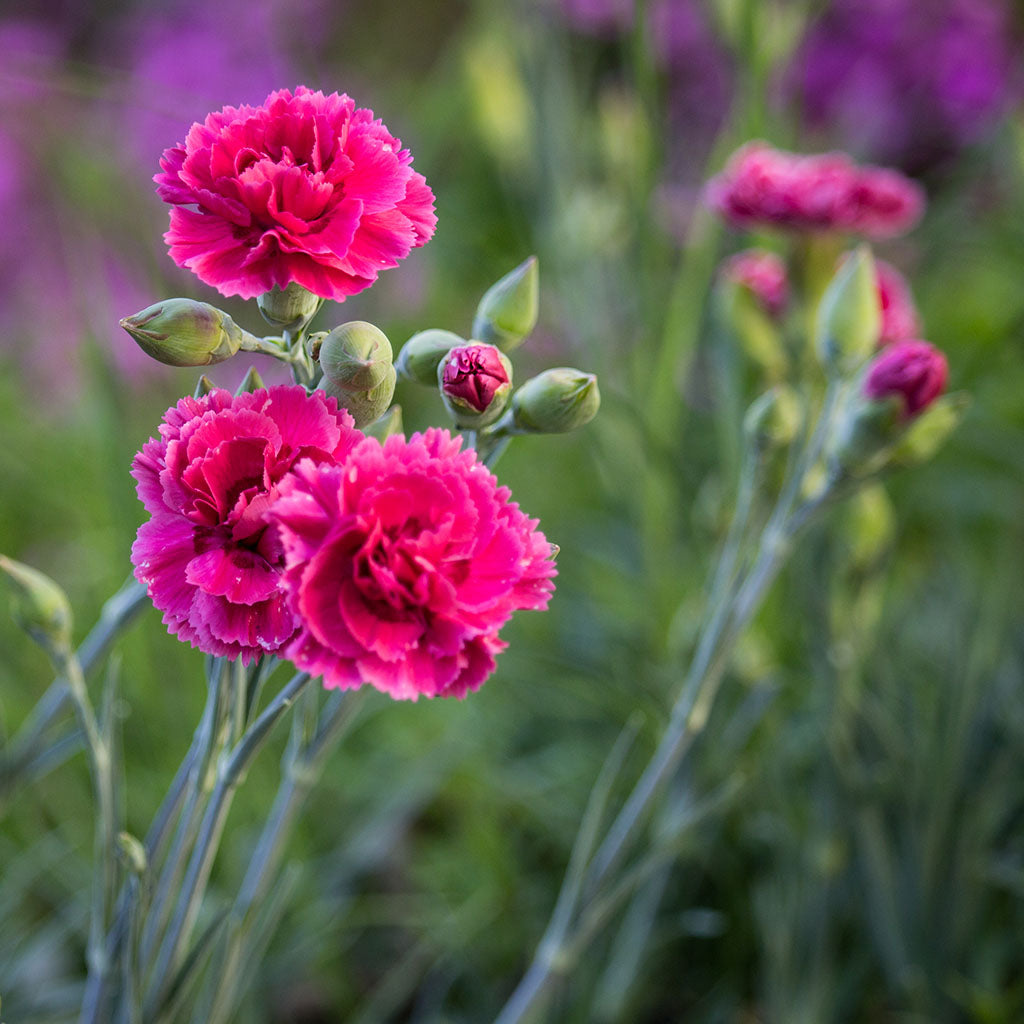 Carnation Essential Essence