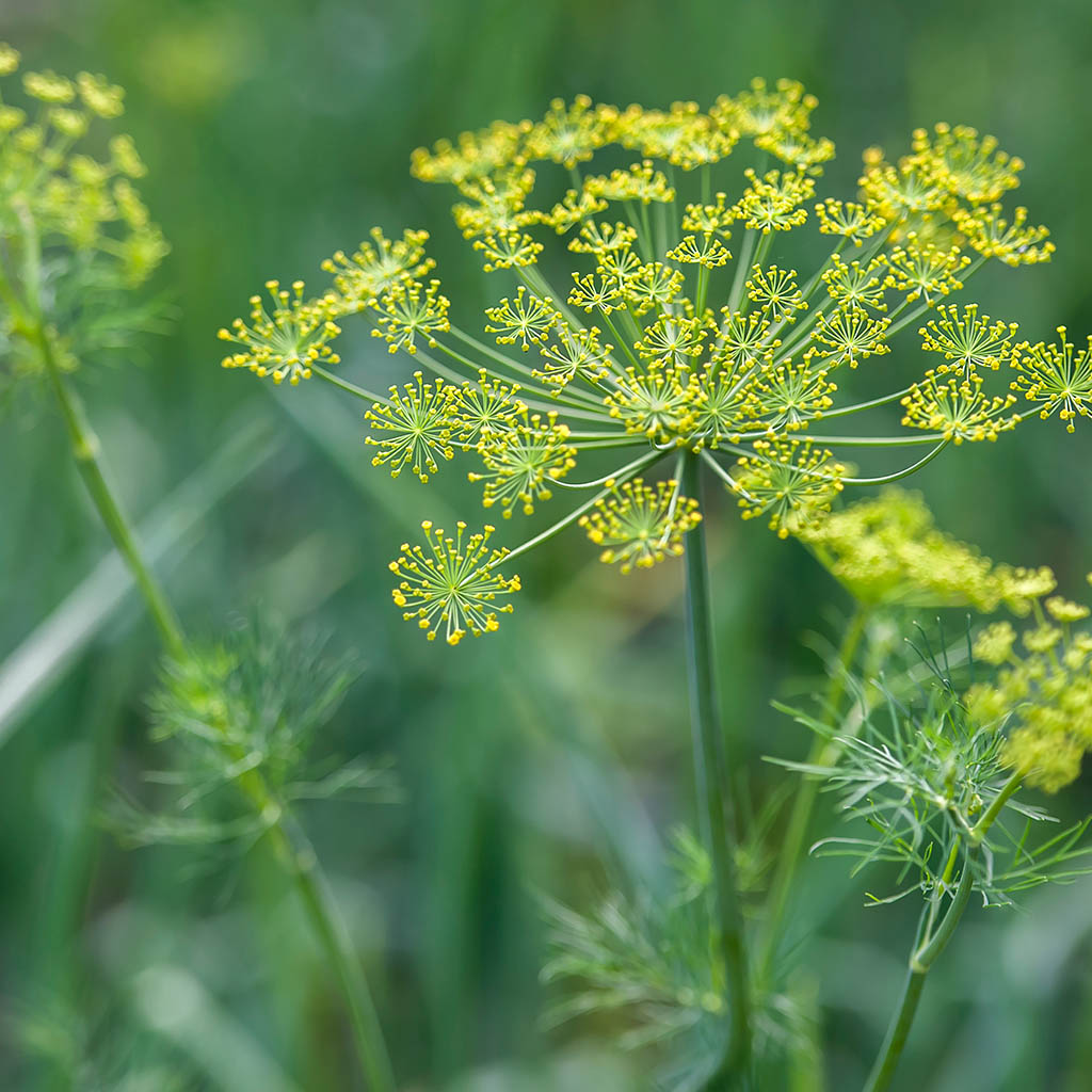 Dill Seed Essential Essence/Oil