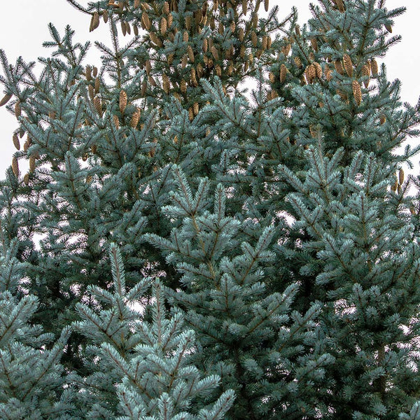 Fir Douglas Arizona