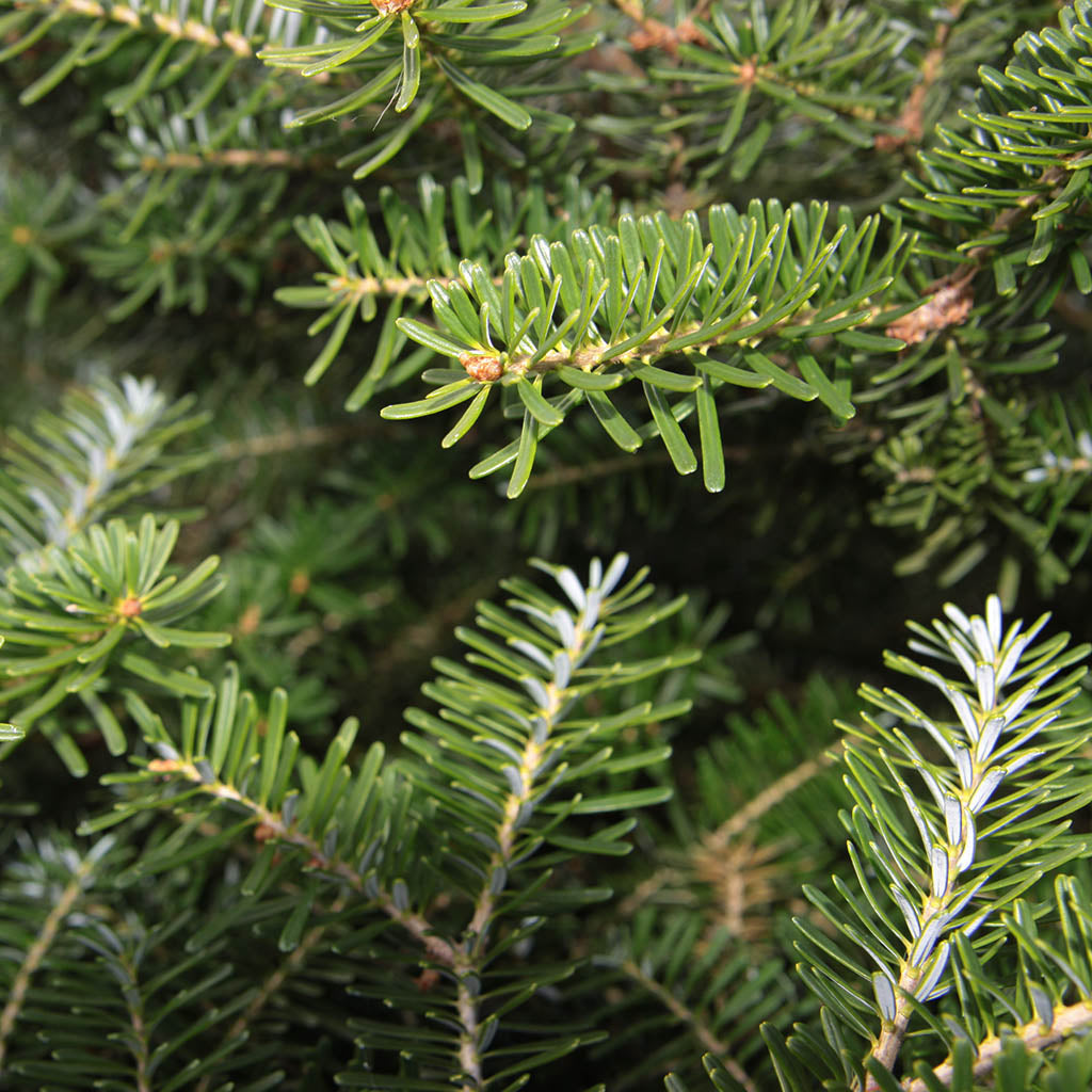 Fir Hemlock Essential Essence/Oil