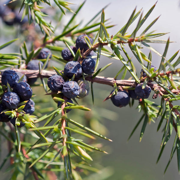 Juniper Berry Albania