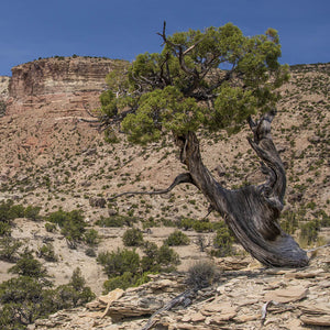 Juniper Berry Utah