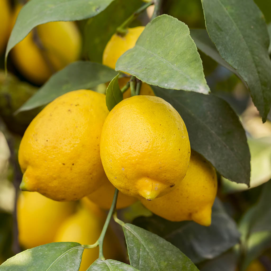 Lemon Cedro