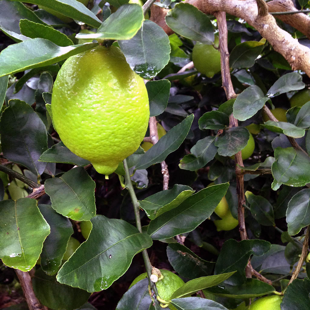 Lime Mexican Essential Essence