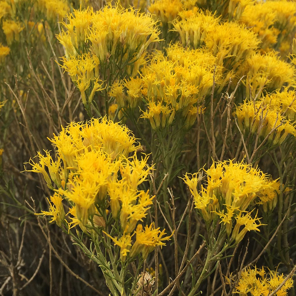 Rabbit Brush Essential Essence