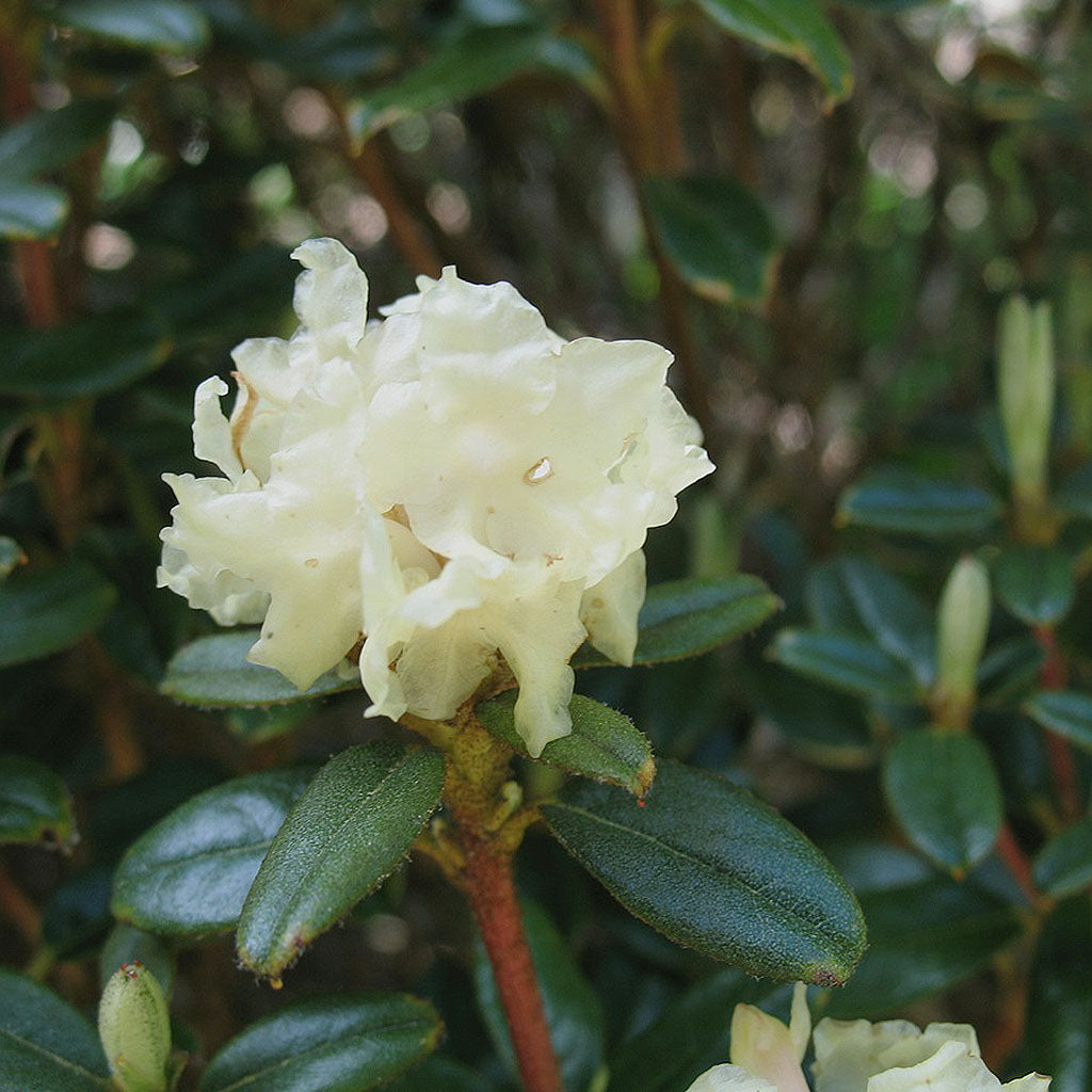 Rhododendron Essential Essence