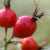 Rose Hip Lycotop Seed Oil