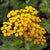 Tansy Common Essential Essence