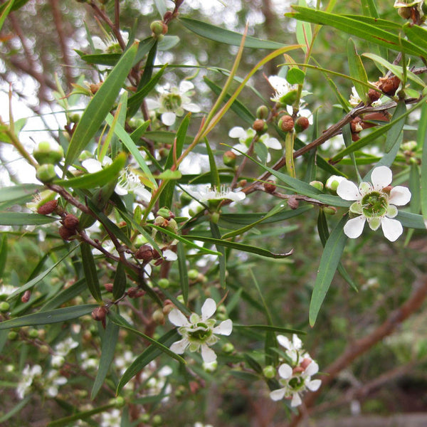 Tea Tree Lemon
