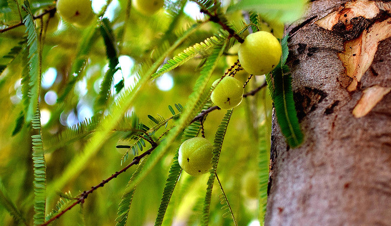 7 DESi Benefits of Amla or Indian Gooseberry