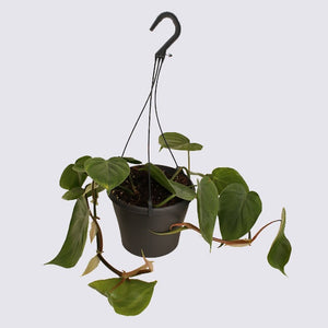 Heartleaf Philodendron (Philodendron Scanden)