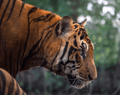 Navigating International Tiger Day | 2020
