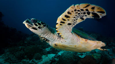 Endangered Sea Turtles: What to Know