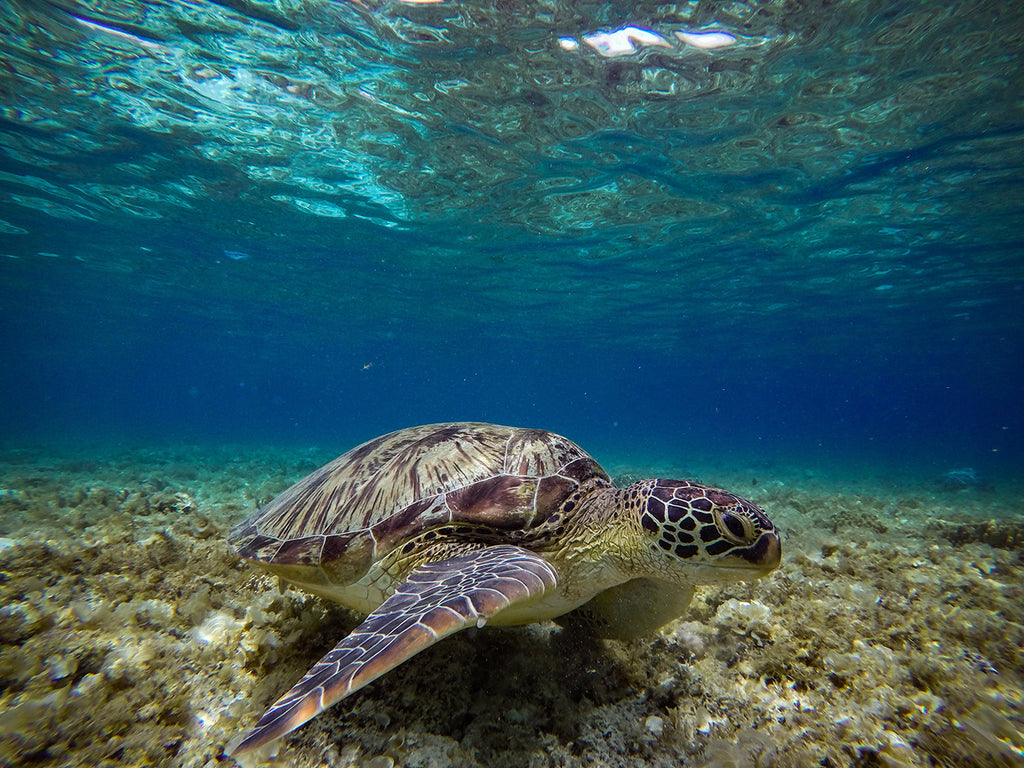 Image of a sea turtle underwater.