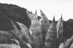 Agave. Taken by SF based photographer Joe Keefe Available in L, XL and Grand.