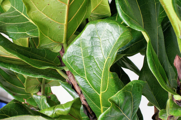 Large Fiddle Leaf Fig Bush