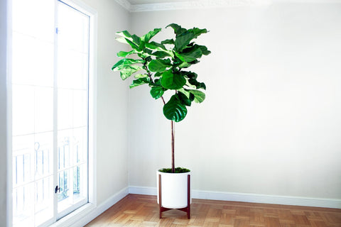 Extra Large Fiddle Leaf Fig Tree