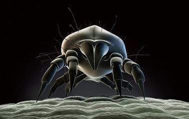 Dust mite on infant mattress allergy asthma hay fever