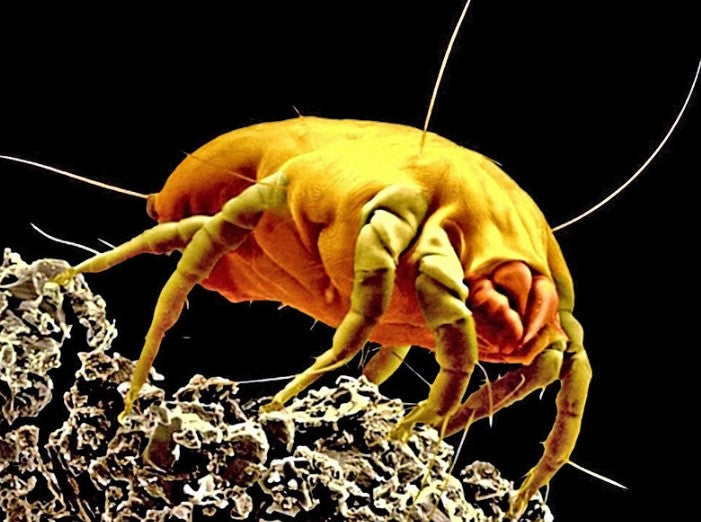 house dust mite poo allergen